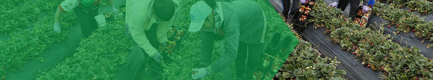 Imagen de dos campesinos, uno es hombre y otra mujer, están agachados revisando el cultivo.